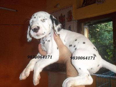Excellent quality dalmatian puppies