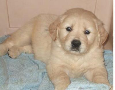 Golden retreiver puppies for sale @ 09830064171