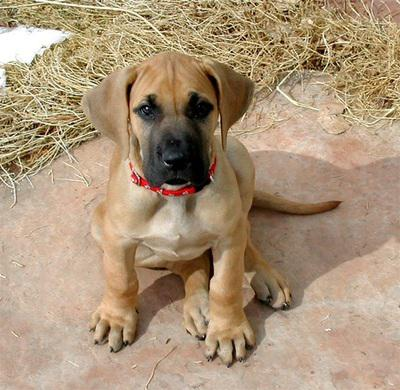 Imported bloodline great dane puppies available..