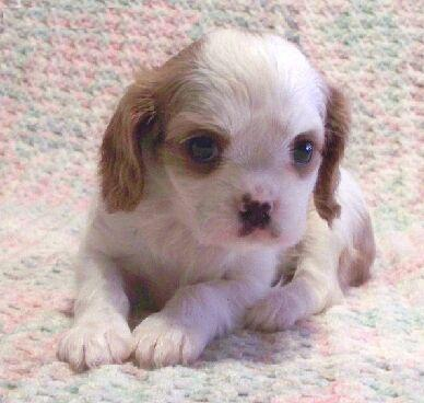 Kings charle spaniel puppies for sale at 9830064171