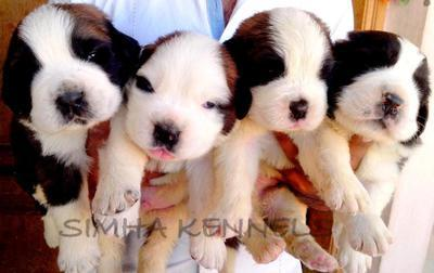 St.bernard for sale comes from a very good show quality