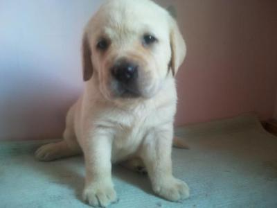 Adorable show quality labrador puppies for sale.trust