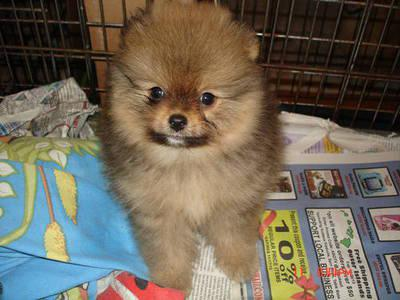 Adorable show quality pomeranian puppies for sale.trust