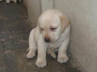 Labrador puppies for sale in best price..