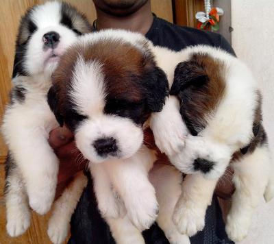 Saint bernard pups available from champion uk lines 7 males