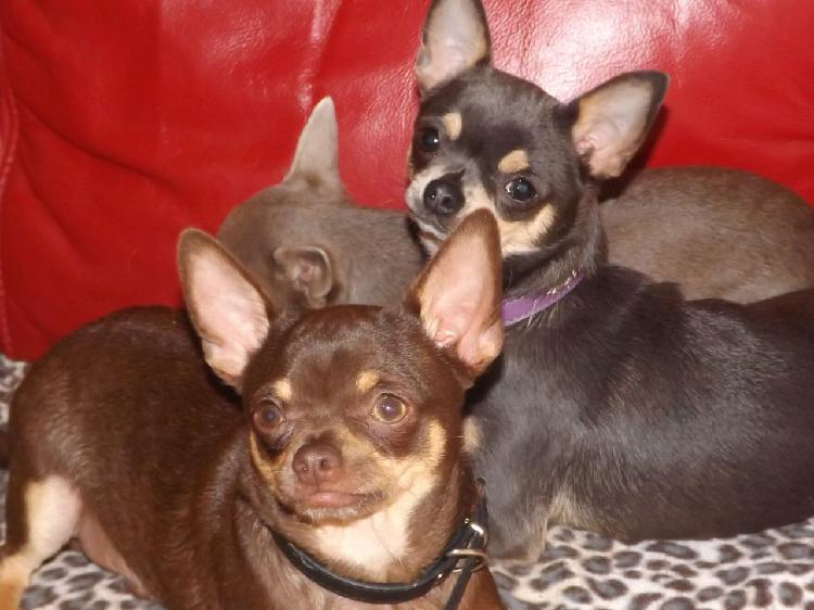 Chihuahua pups for sale in delhi trust dogs kennel