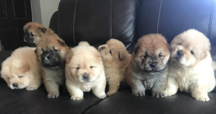 Chow chow pups for sale trust dogs kennel