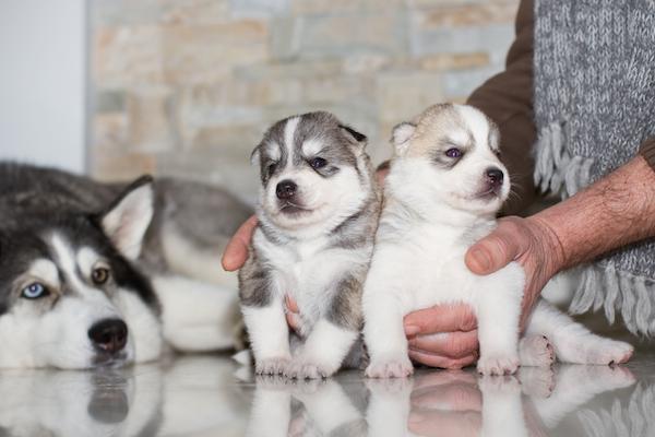 Siberian huksy pups for sale in delhi