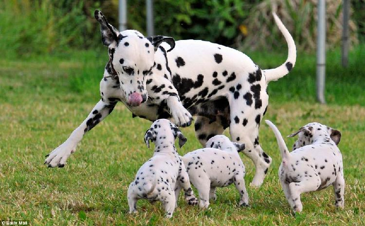 Trust dogs kennel dalmatian pups for sale