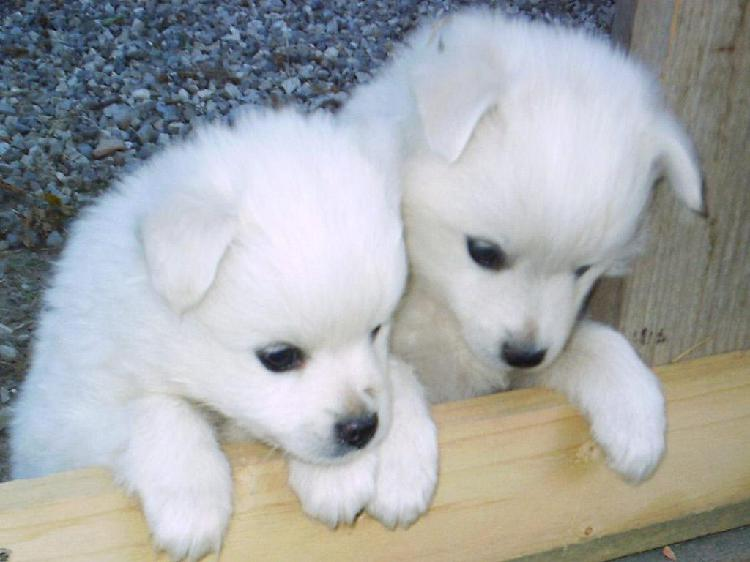 Trust dogs kennel spitz pups for sale in delhi
