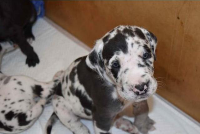 Gorgeous great dane puppies
