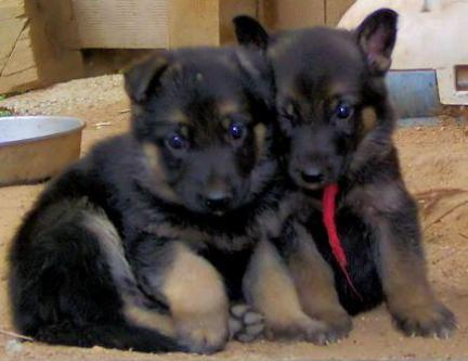 German shepherd male puppy waiting for new home hurry up