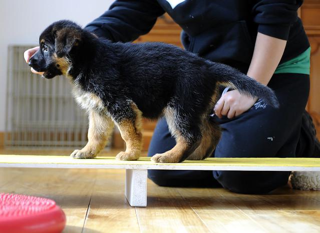 German shepherd puppy for adoption u