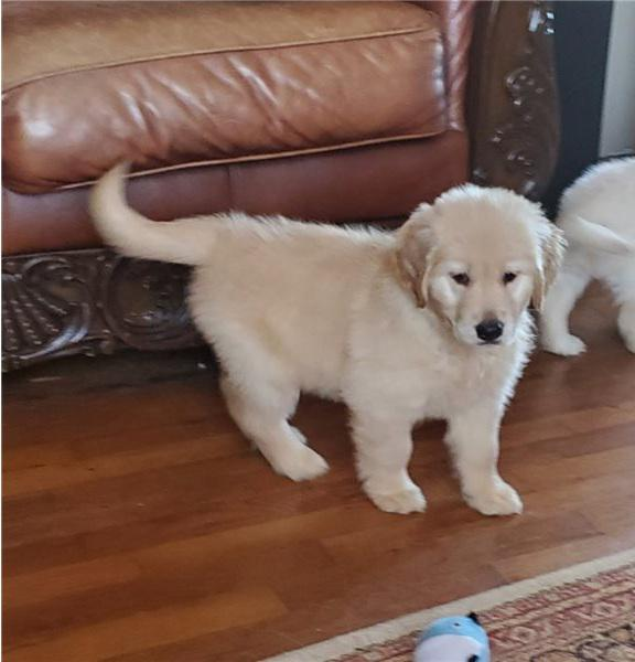 Pure charming and adorable golden retriever and lab puppies