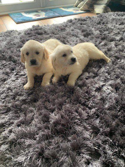 Golden retriever puppies and labrador for everyone
