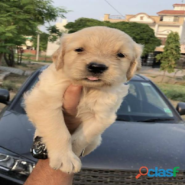 Beautiful golden retriever pups available 9971818186