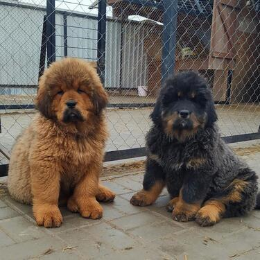 Quality tibetan mastiff male and female available