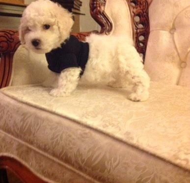 14registered bichon fries puppies at 918130057343