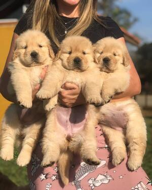 Good quality golden retriever puppies for sale to good homes