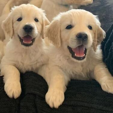 Pure bred full pedigree golden retriever puppies for loving