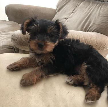 Beautiful yorkies puppies for sale available puppies york