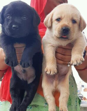 We have cute and lovely male and female labradoe puppy for