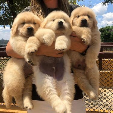 Gorgeous and good looking golden retriever puppies ready for