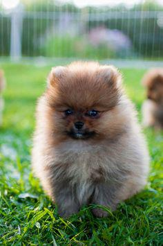 Toy pom male for sale in indore 8982569583