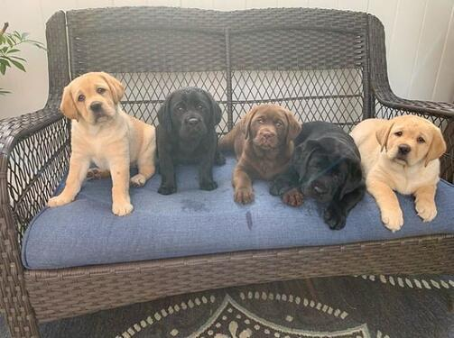Cute labrador puppies ready to change hands