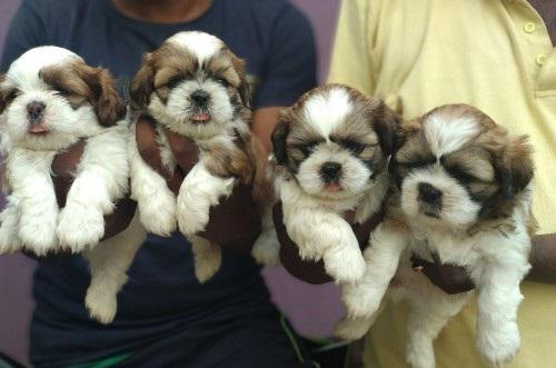 We have best and sweet kci registered and healthy shih tzu p