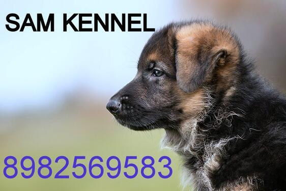 All breed pupps for sale at sam kennel 8982569583