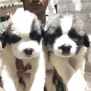 Beautiful kci registered saint bernard puppies for sale we