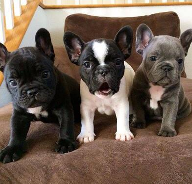 Loving and adorable kci registered french bulldog puppies m