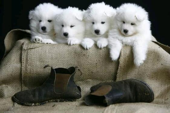 Fantastic samoyed puppies male and female for sale