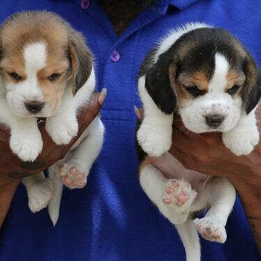 Description for adorable beagle puppies male and female fo