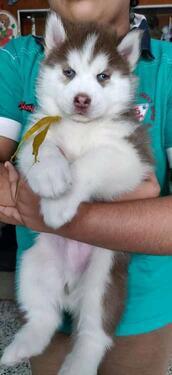 KCI registered male and female husky for saleget chickhas