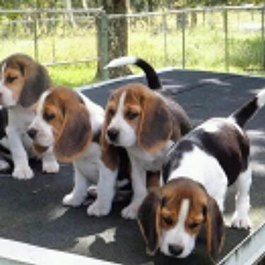 Malefemale kci registered healthy beagle puppies available