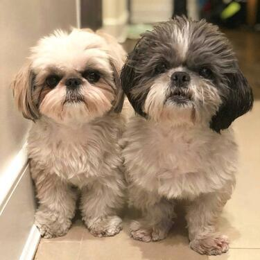 Male and female SHIH TZU puppies for salevet chickKCI regi