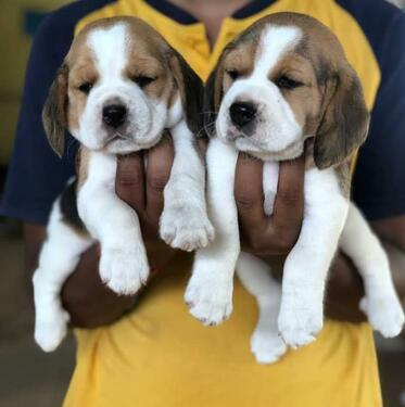 Healthy kci registered beagle puppies male for sale cute and