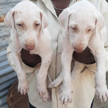 Top quality mudhol puppies ready for sale