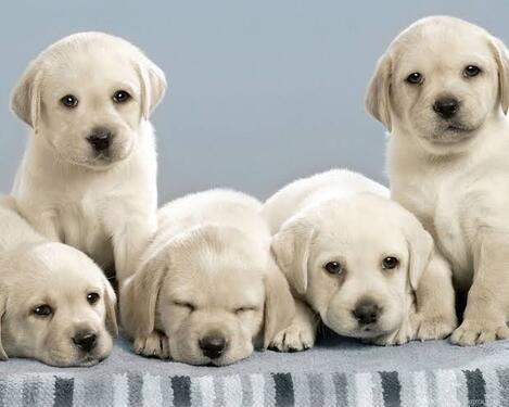 Labrador pups available for sale in delhi
