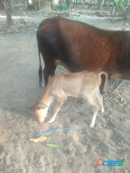 Kasaragod kullan cow with 3 weeks old calf