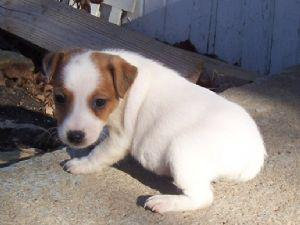 Pretty jack russel pup for adoption