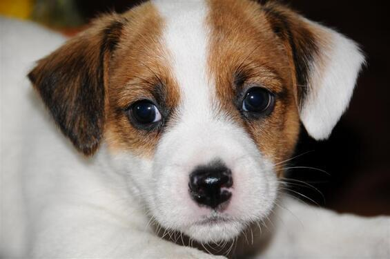 Jack rusell puppies for free adoption