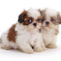 Adorable kci and vaccinated shih tzu puppies male and female