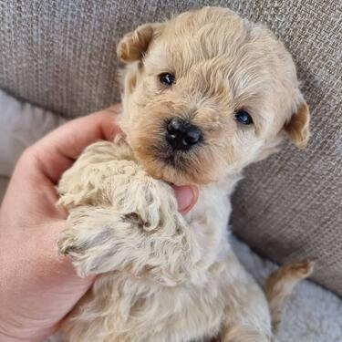 Adorable maltipoo puppies available for sale