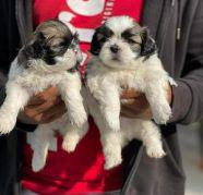 Cut shih tzu puppies for sale puppies are very healthy and