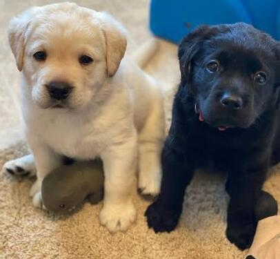 Cute male and female labrador puppies for sale