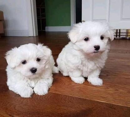 Cute male and female maltese puppies ready for sale