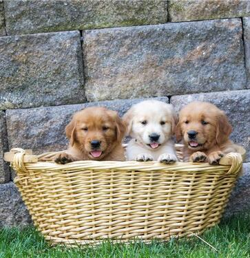 Golden and labrador retriever puppies for adoption cx